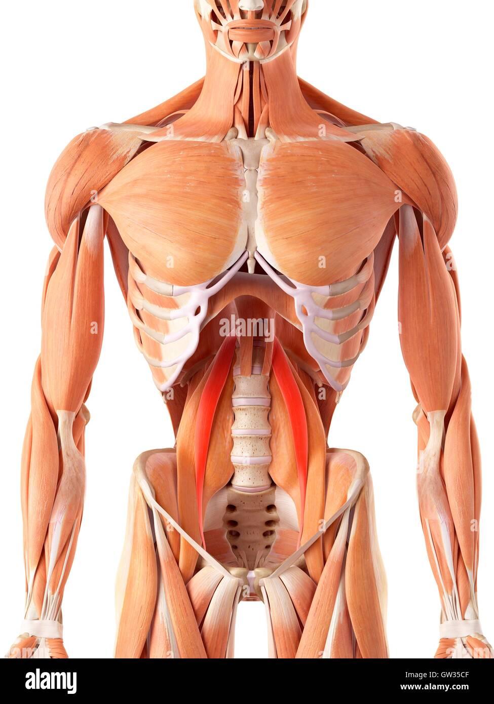 Menschlichen Bauchmuskeln, Abbildung Stockfoto, Bild: 118698735 - Alamy