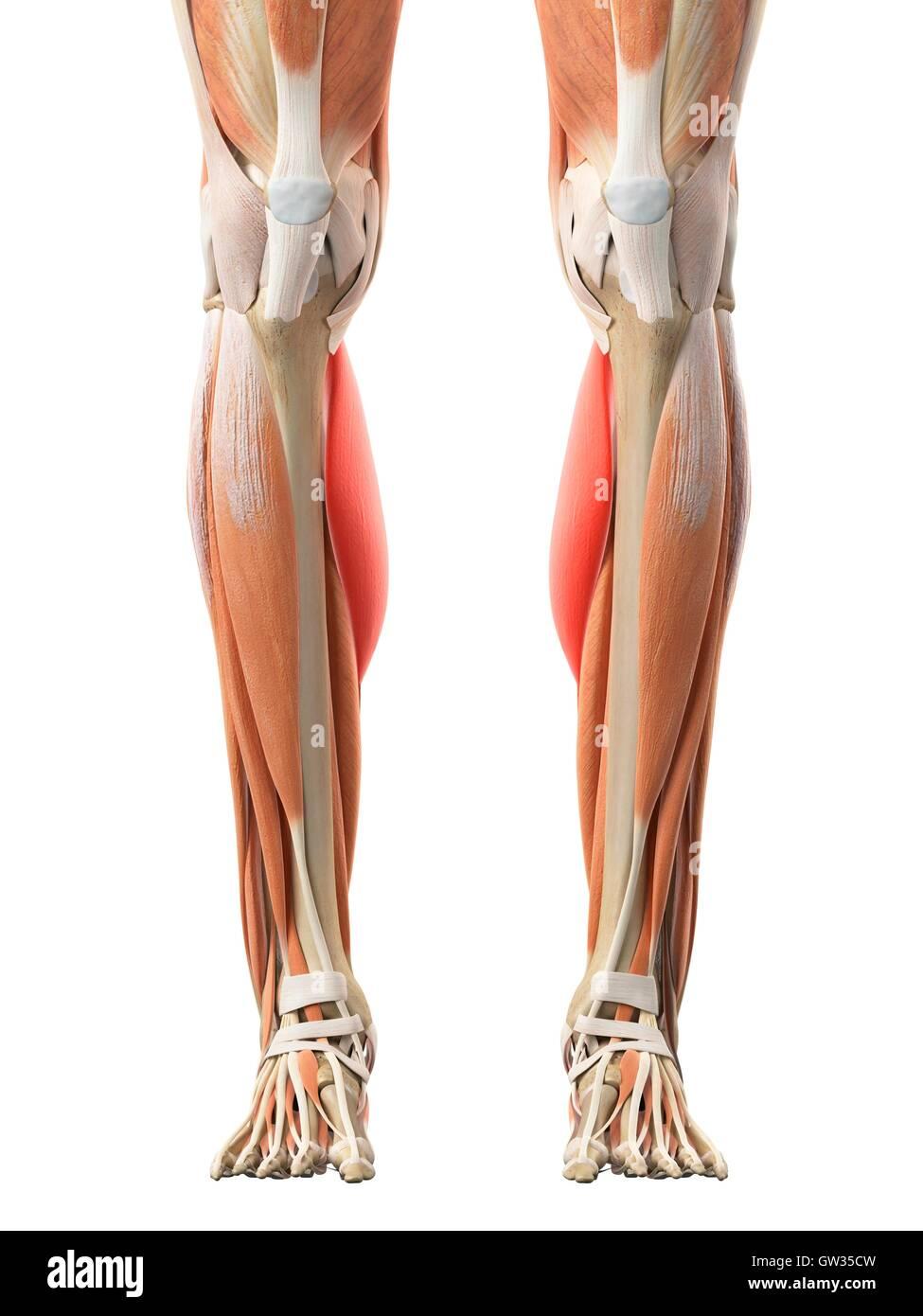 Berühmt Menschliche Beinmuskeln Bilder - Menschliche Anatomie Bilder ...