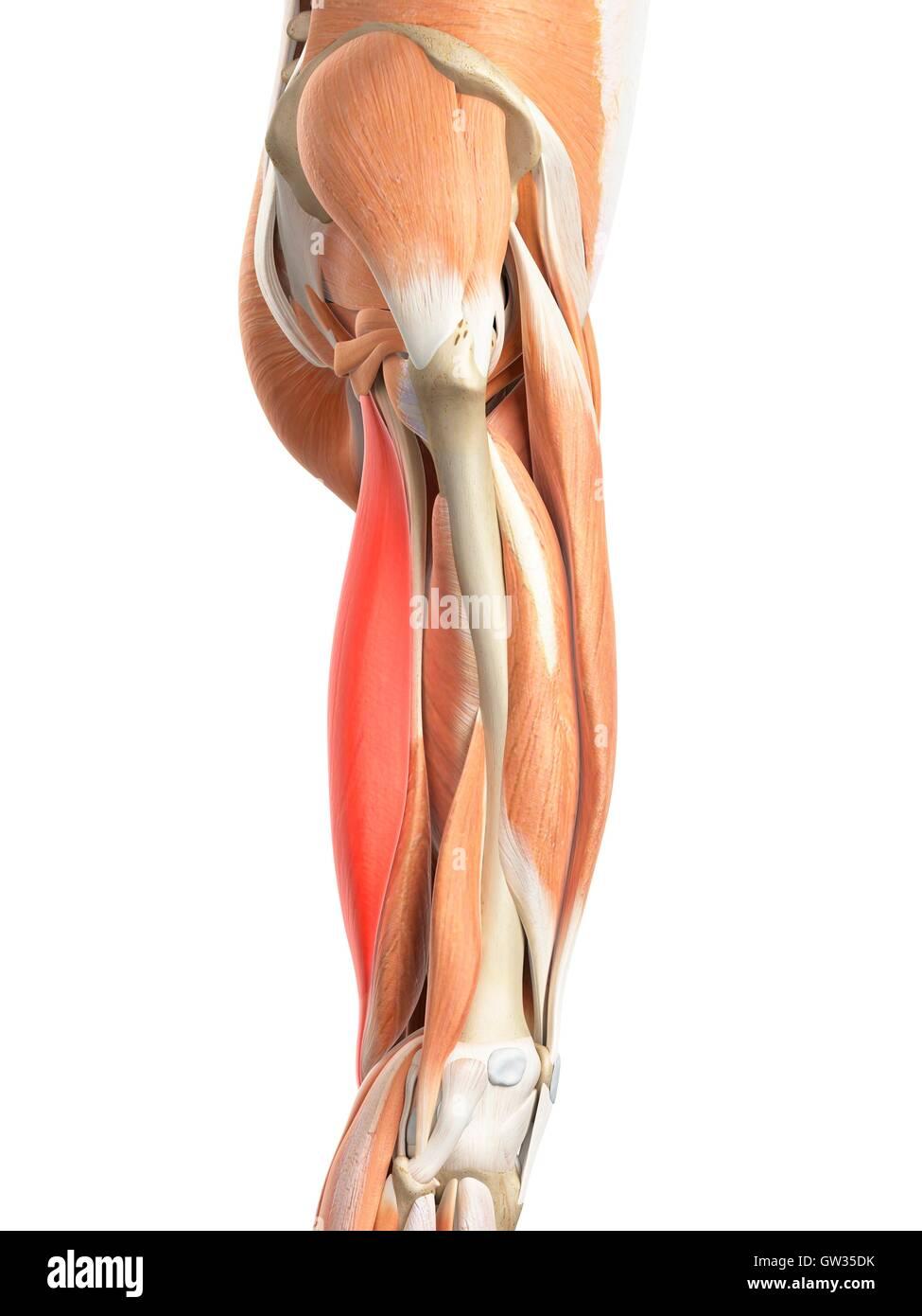 Wunderbar Alle Beinmuskeln Ideen - Menschliche Anatomie Bilder ...