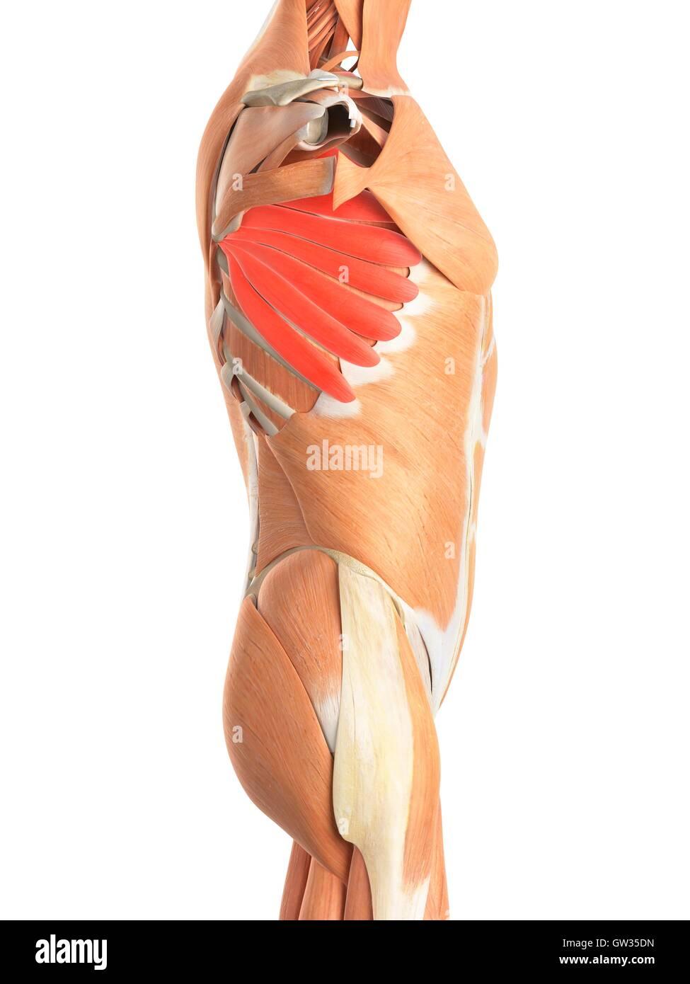 Menschlichen Brustmuskulatur, Abbildung Stockfoto, Bild: 118698769 ...
