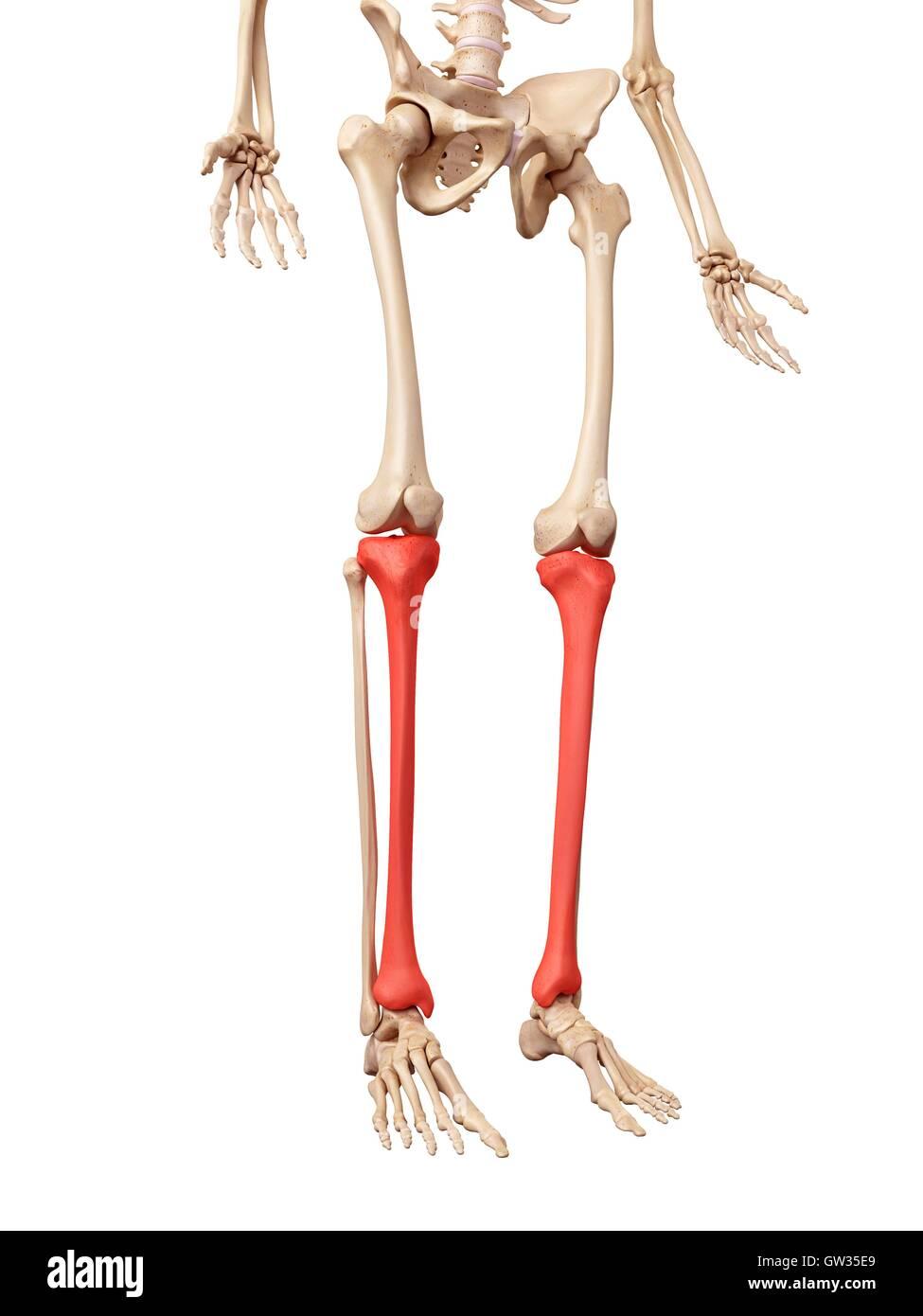 Erfreut Bilder Von Beinknochen Ideen - Anatomie Von Menschlichen ...