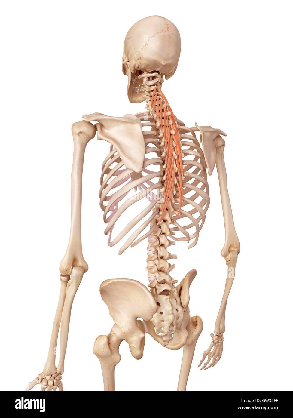 Menschliche Rückenmuskulatur, Abbildung Stockfoto, Bild: 118698819 ...