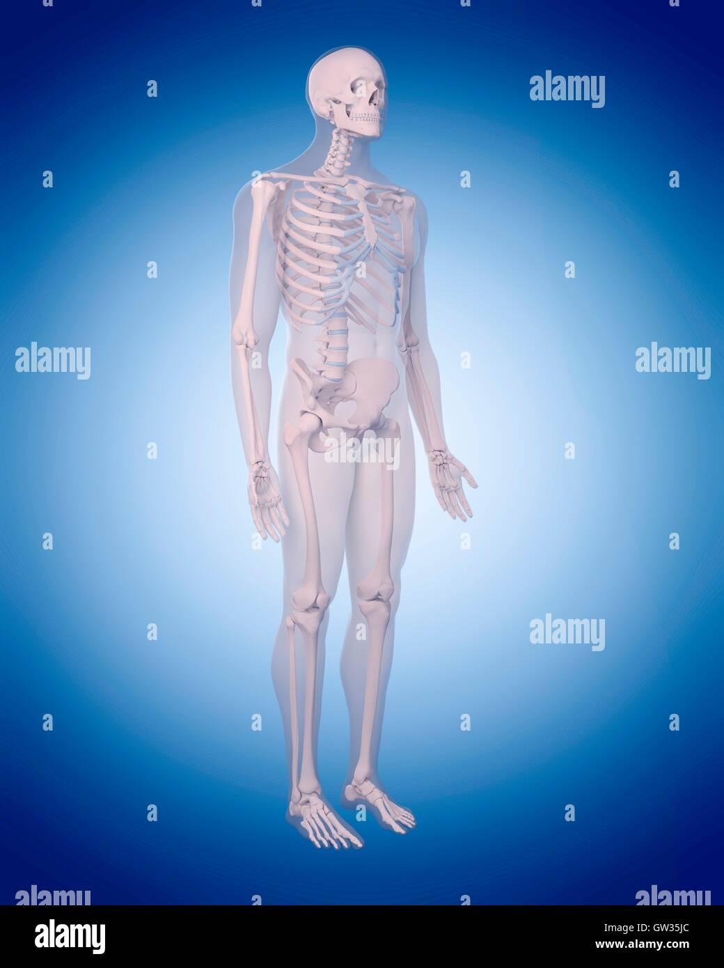 Menschliches Skelett, Abbildung. Stockbild