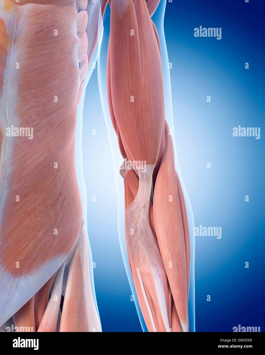Arm Muscle Artwork Stockfotos & Arm Muscle Artwork Bilder - Seite 3 ...