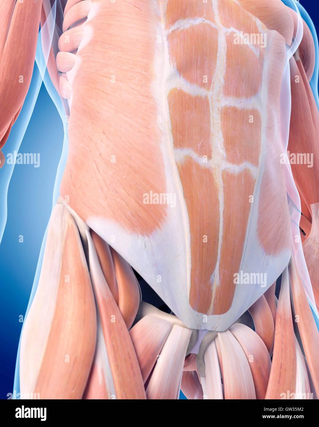 Menschlichen Bauchmuskeln, Abbildung Stockfoto, Bild: 118698946 - Alamy