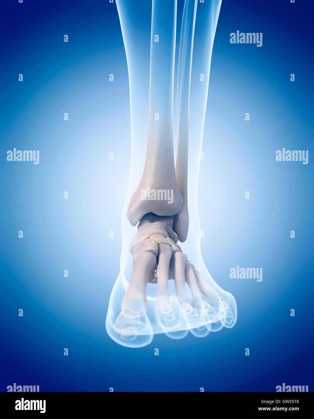 Human Ankle Bones Stockfotos & Human Ankle Bones Bilder - Alamy