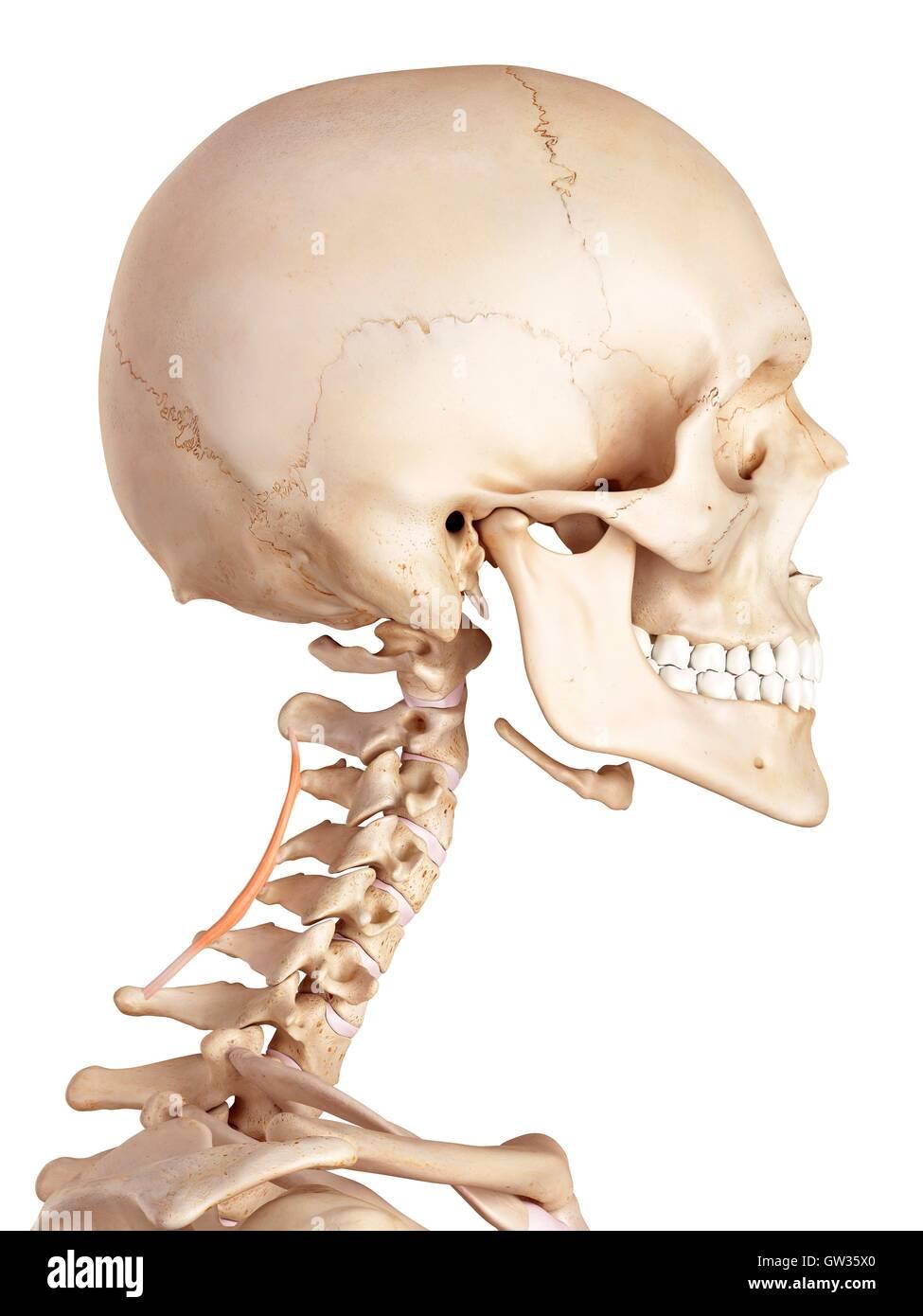 Menschlichen zervikalen Muskel, Abbildung Stockfoto, Bild: 118699112 ...