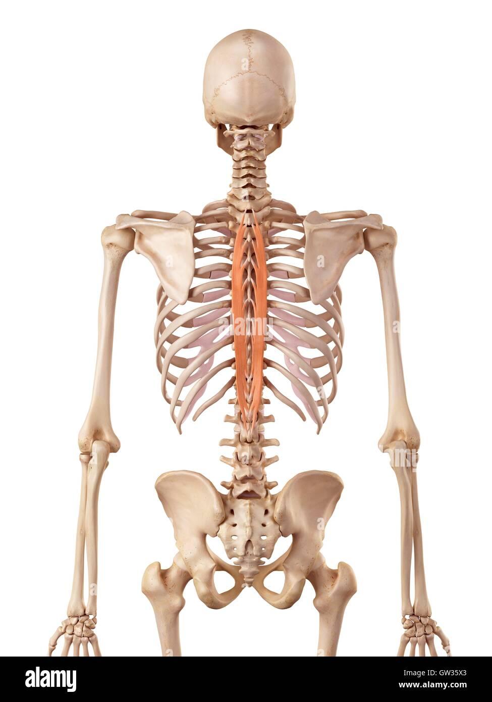 Menschliche Wirbelsäule Muskel, Abbildung Stockfoto, Bild: 118699115 ...