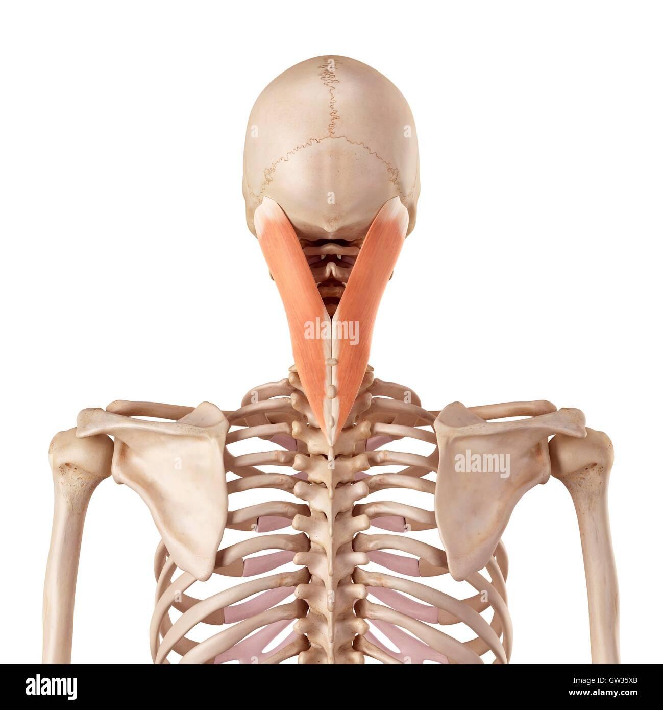 Menschlichen zervikalen Muskel, Abbildung Stockfoto, Bild: 118699123 ...