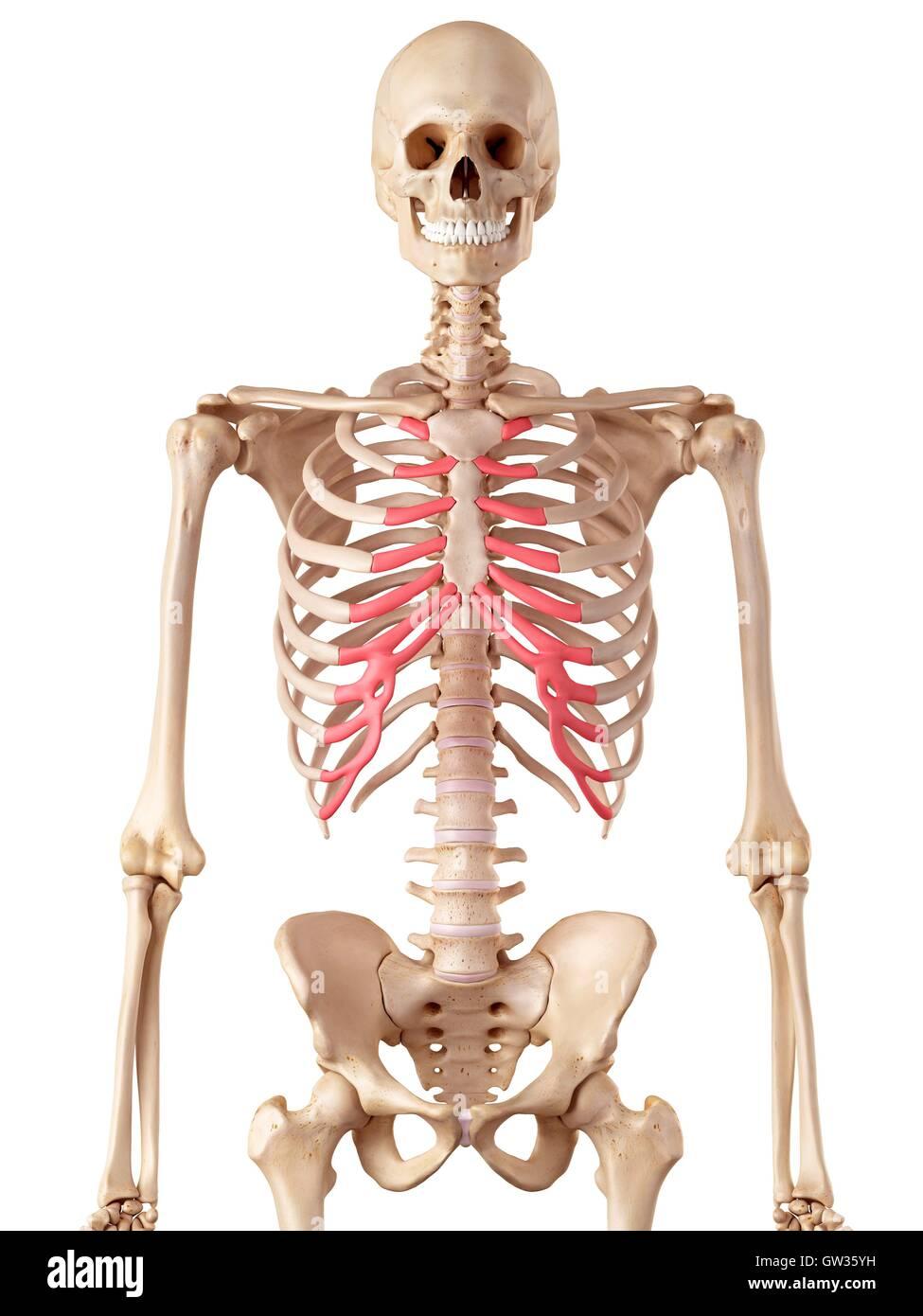 Menschliche Rippen Knorpel, Abbildung Stockfoto, Bild: 118699157 - Alamy