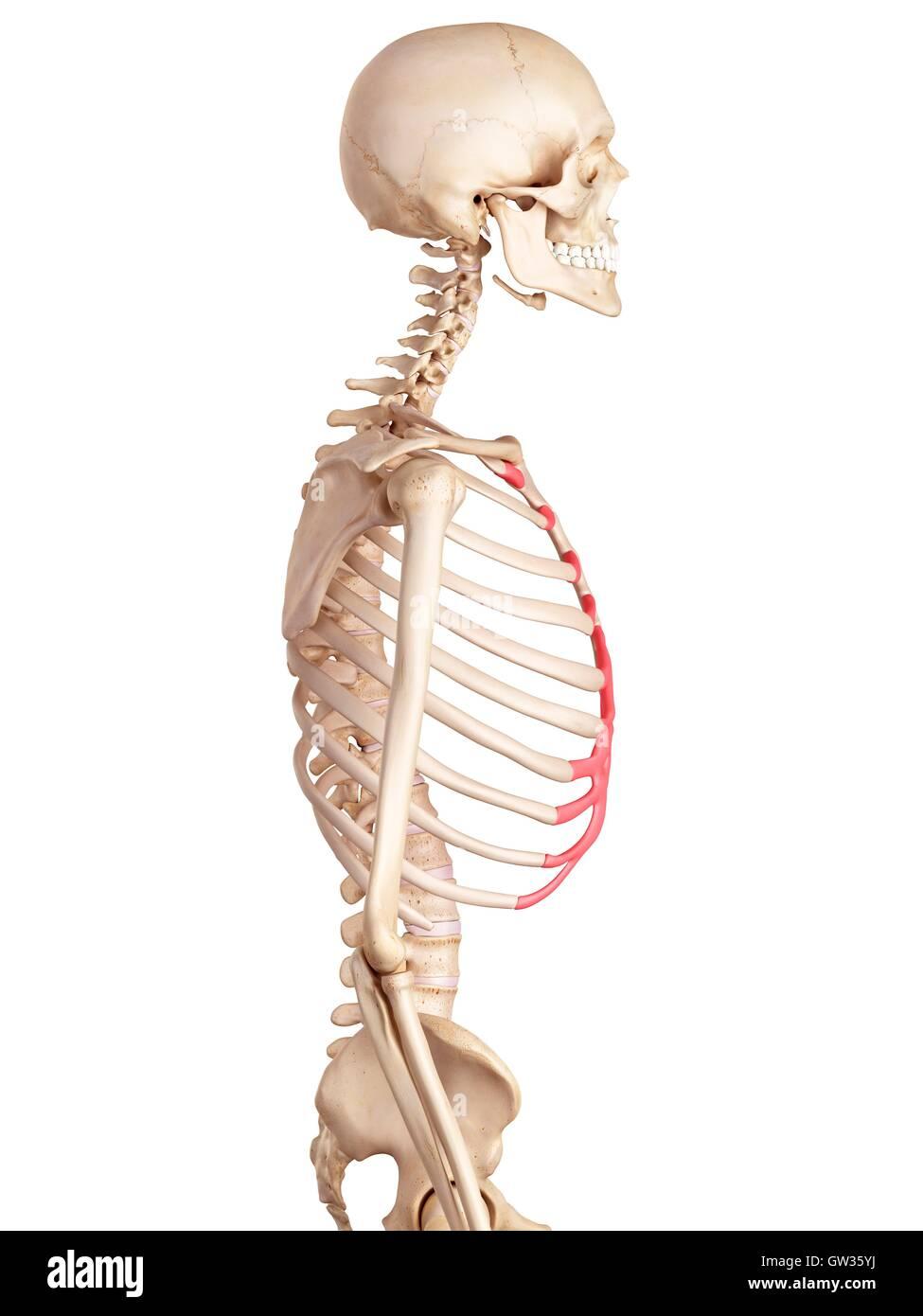 Wunderbar Menschliche Rippe Anatomie Bilder - Menschliche Anatomie ...