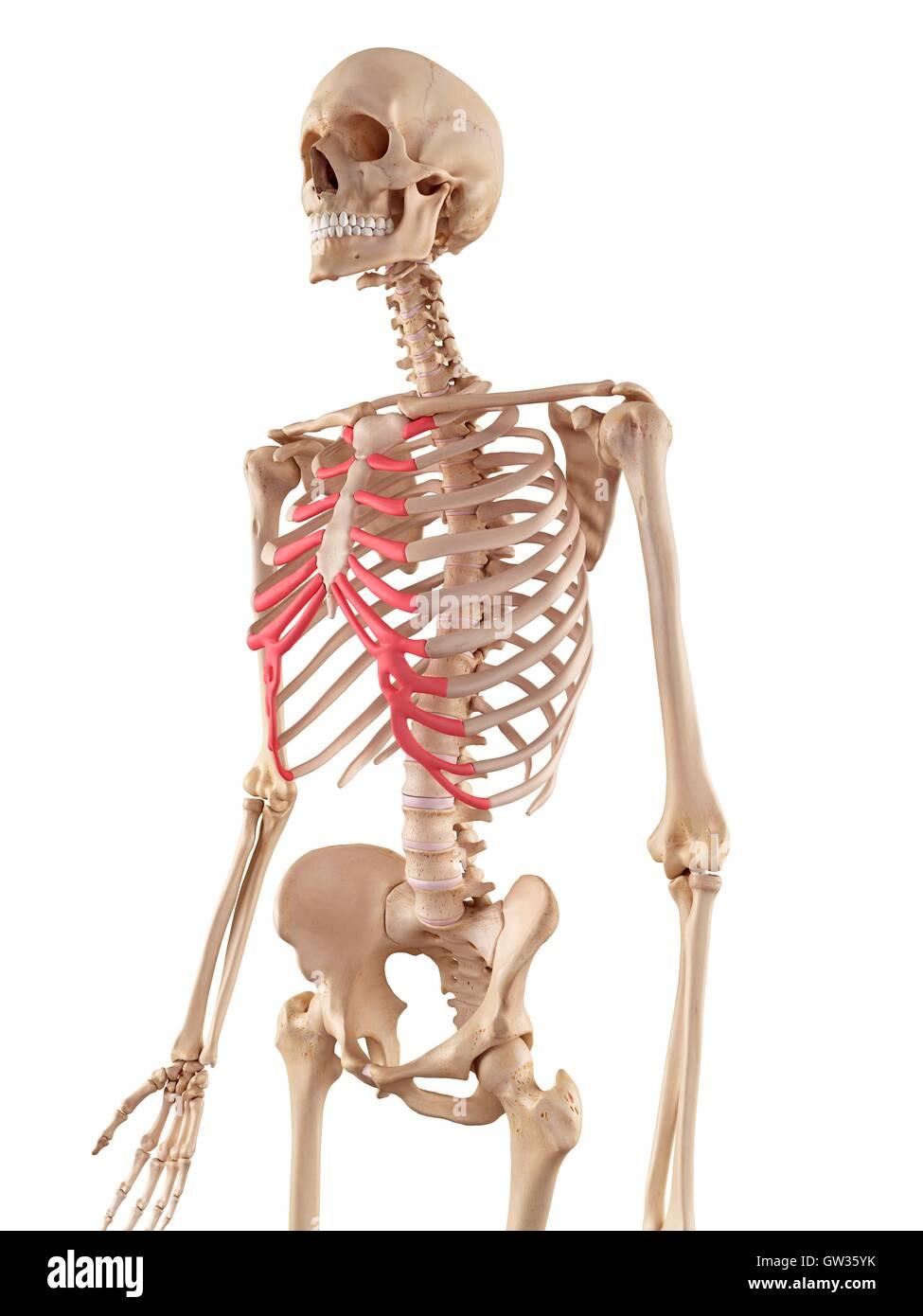 Menschliche Rippen Knorpel, Abbildung Stockfoto, Bild: 118699159 - Alamy