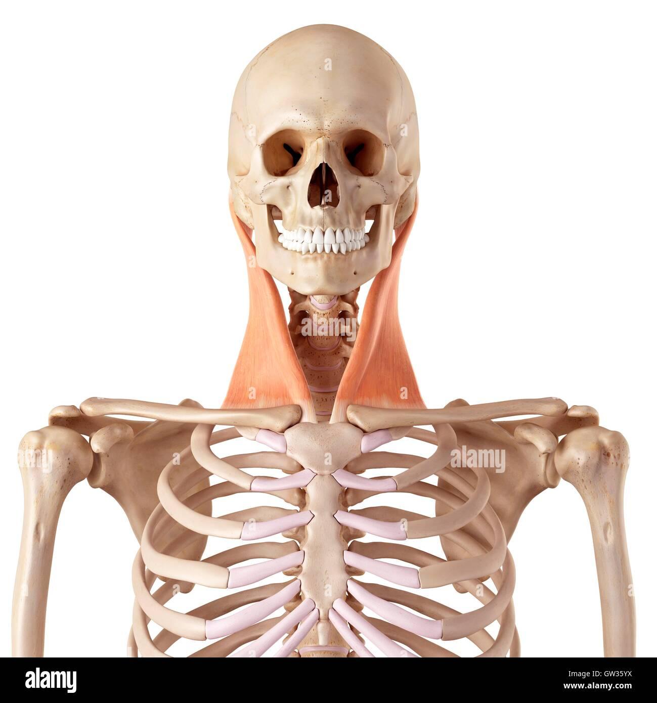 Hals-Muskeln, Abbildung Stockfoto, Bild: 118699166 - Alamy