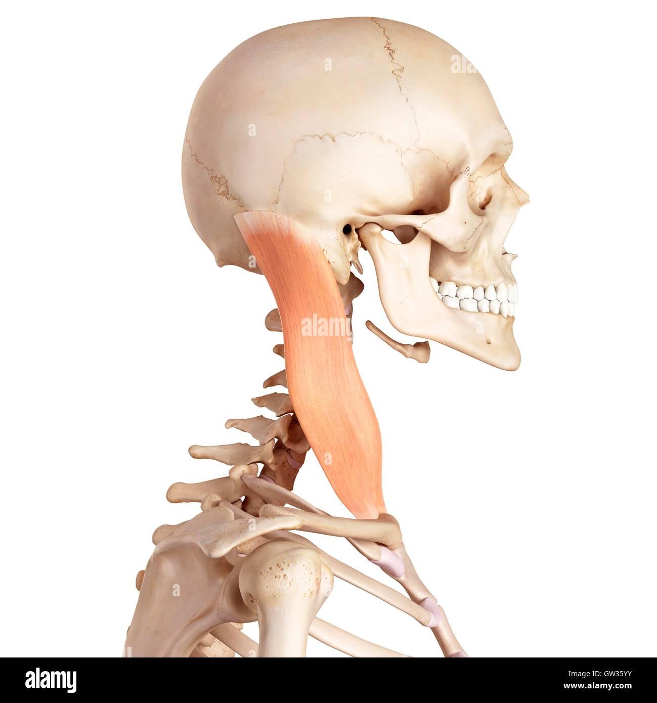 Ausgezeichnet Halsmuskeln Ideen - Menschliche Anatomie Bilder ...