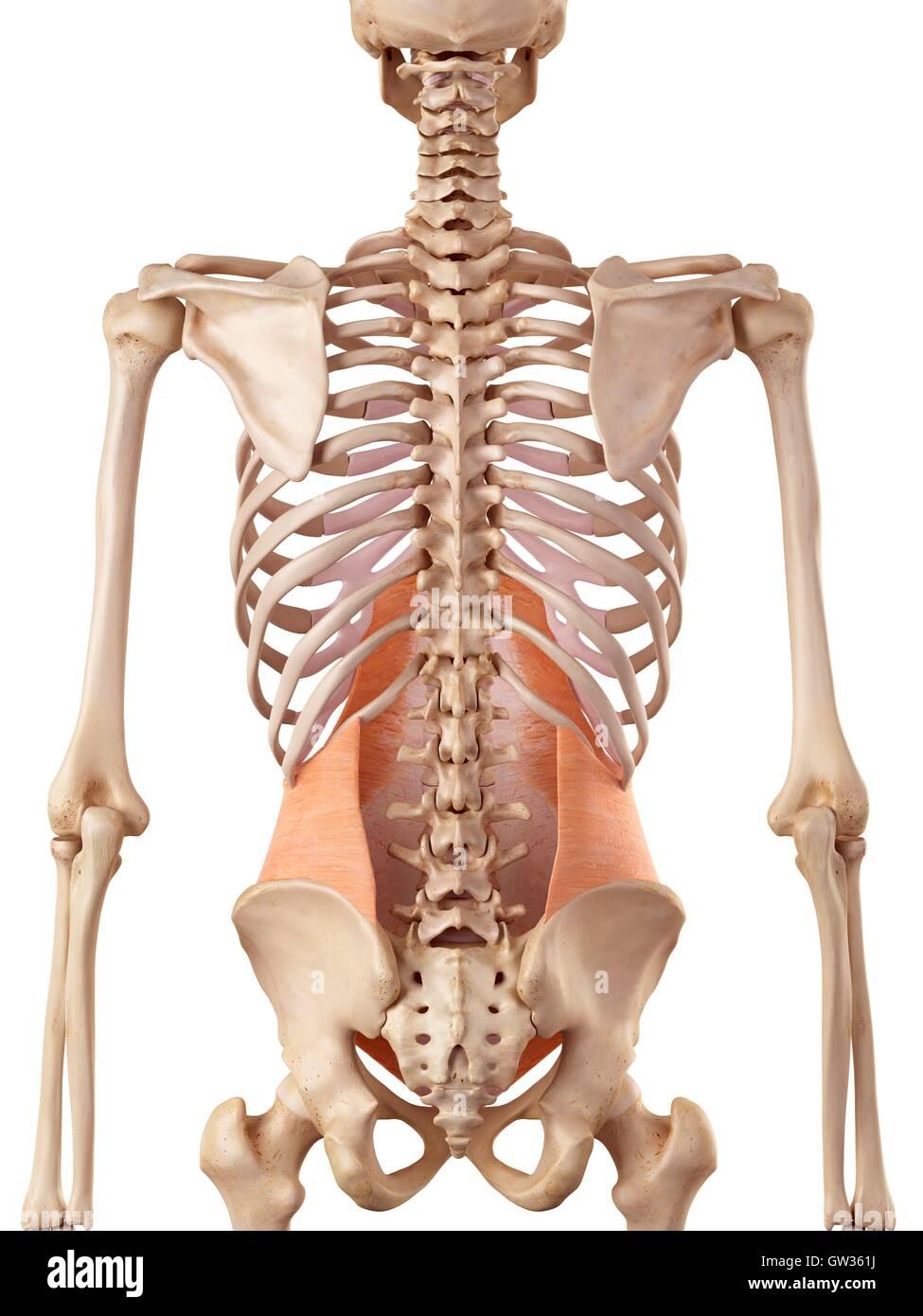Menschlichen Bauchmuskeln, Abbildung Stockfoto, Bild: 118699214 - Alamy