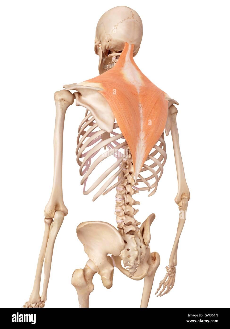 Charmant Schultermuskulatur Anatomie Zeitgenössisch - Menschliche ...