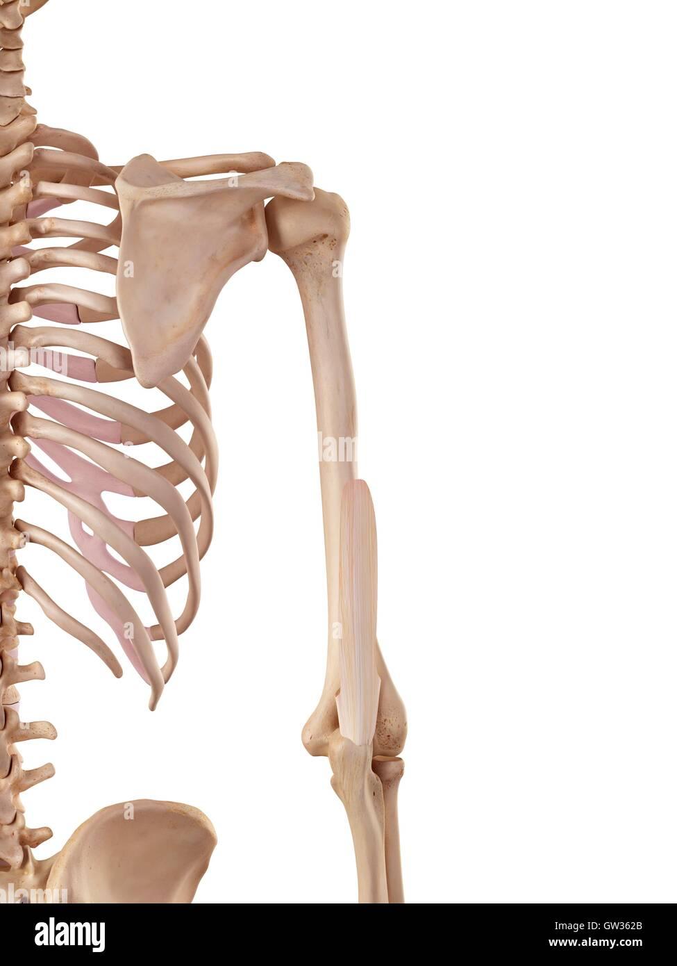 Menschlichen Trizeps sehnen, Abbildung Stockfoto, Bild: 118699235 ...