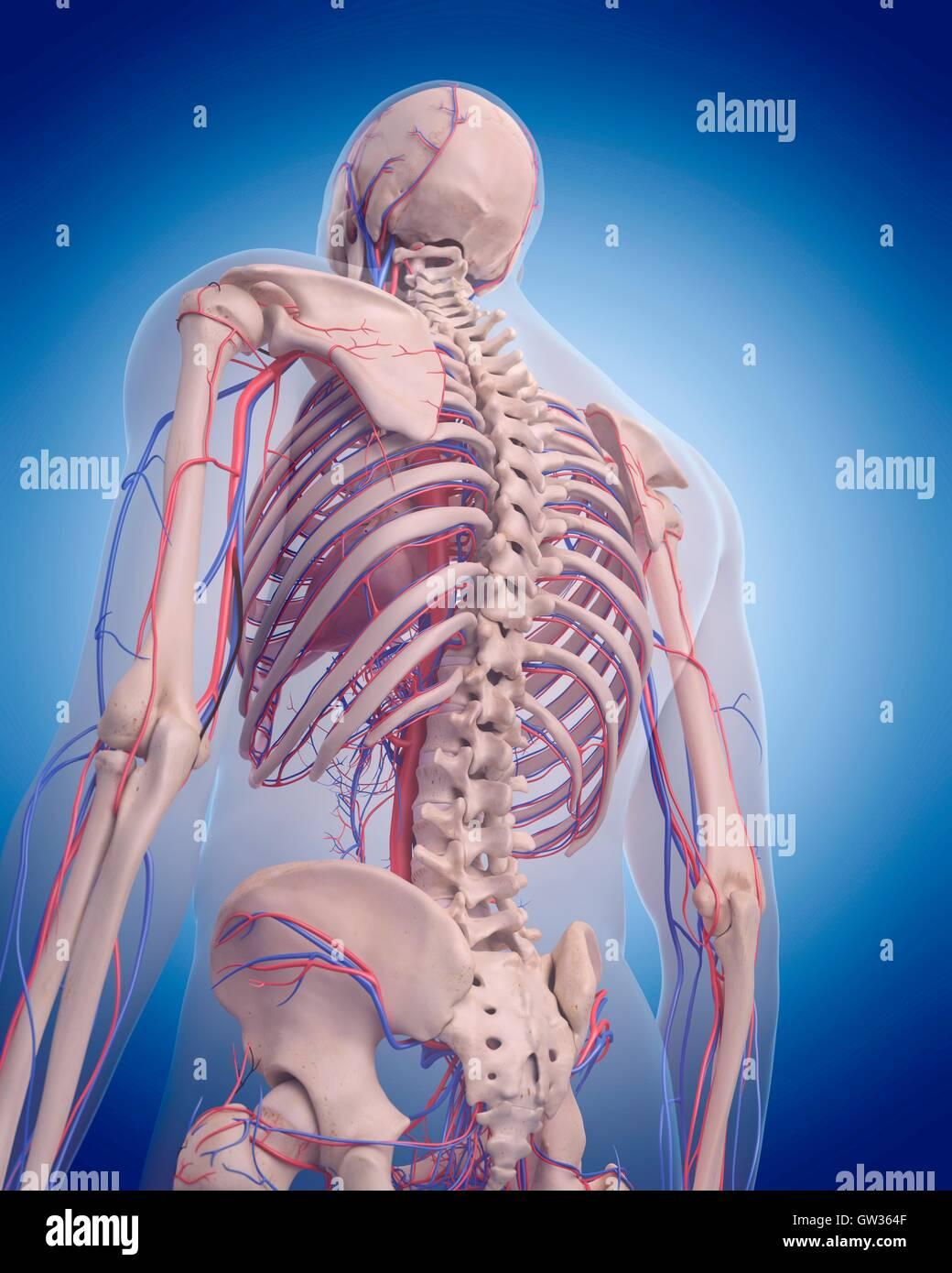 Menschliche Gefäßsystem des Rückens, Abbildung Stockfoto, Bild ...