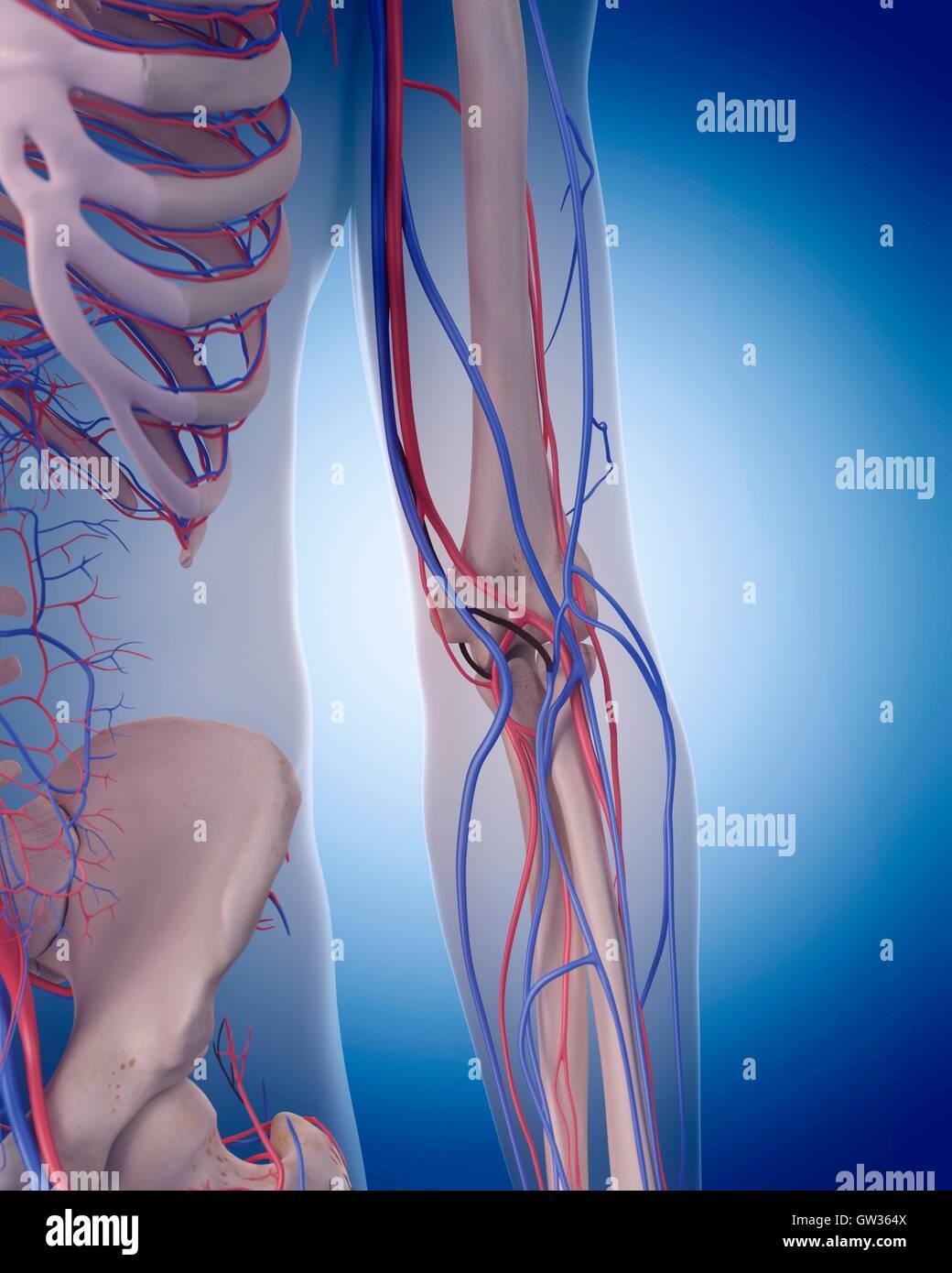 Menschliche Gefäßsystem des Ellenbogens, Abbildung Stockfoto, Bild ...