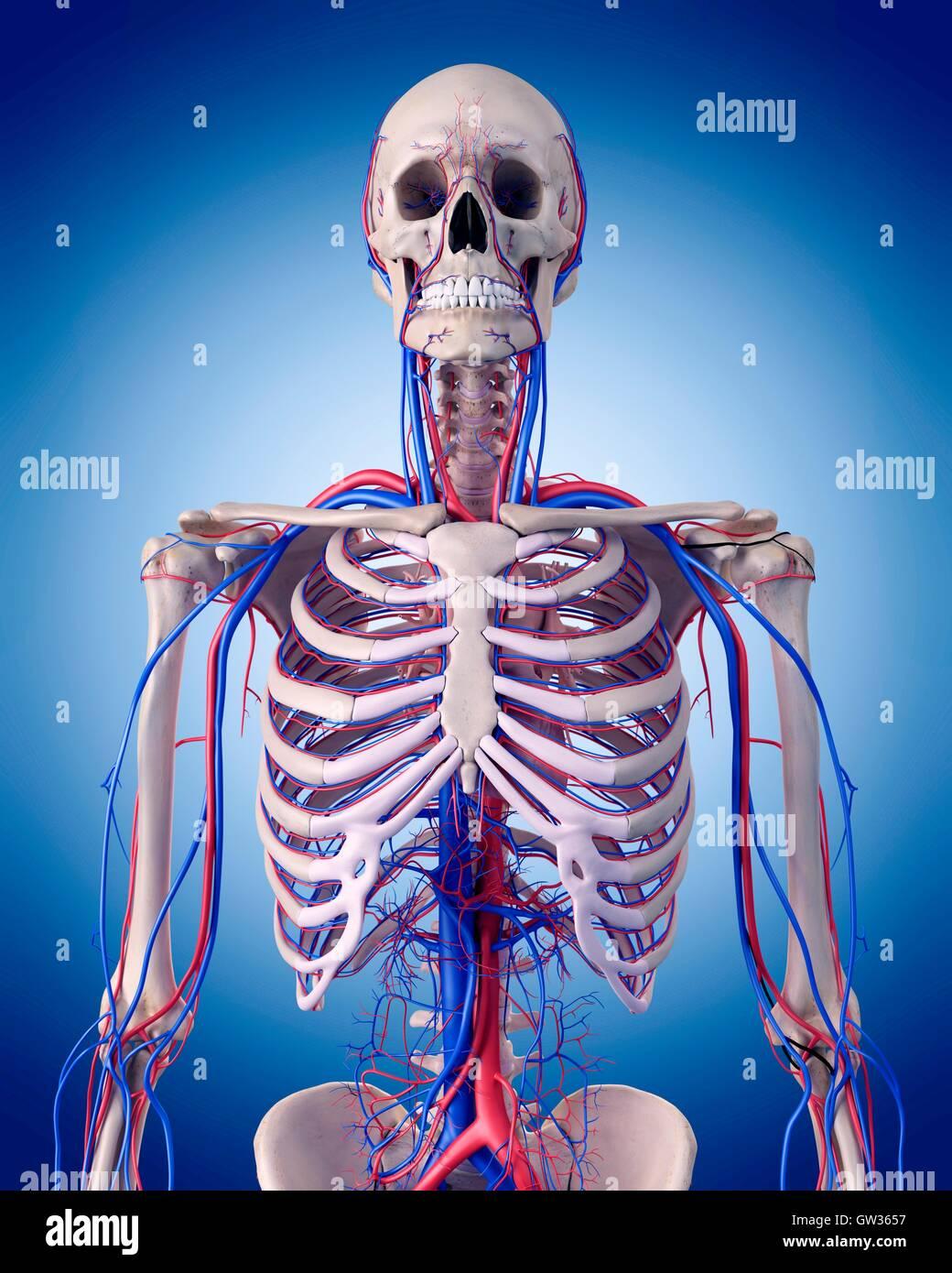 Menschliche Gefäßsystem des Thorax, Abbildung Stockfoto, Bild ...