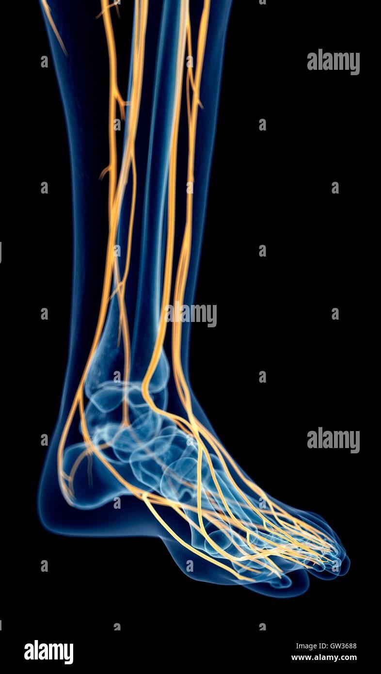 Menschlicher Fuß Nerven, Abbildung Stockfoto, Bild: 118699400 - Alamy