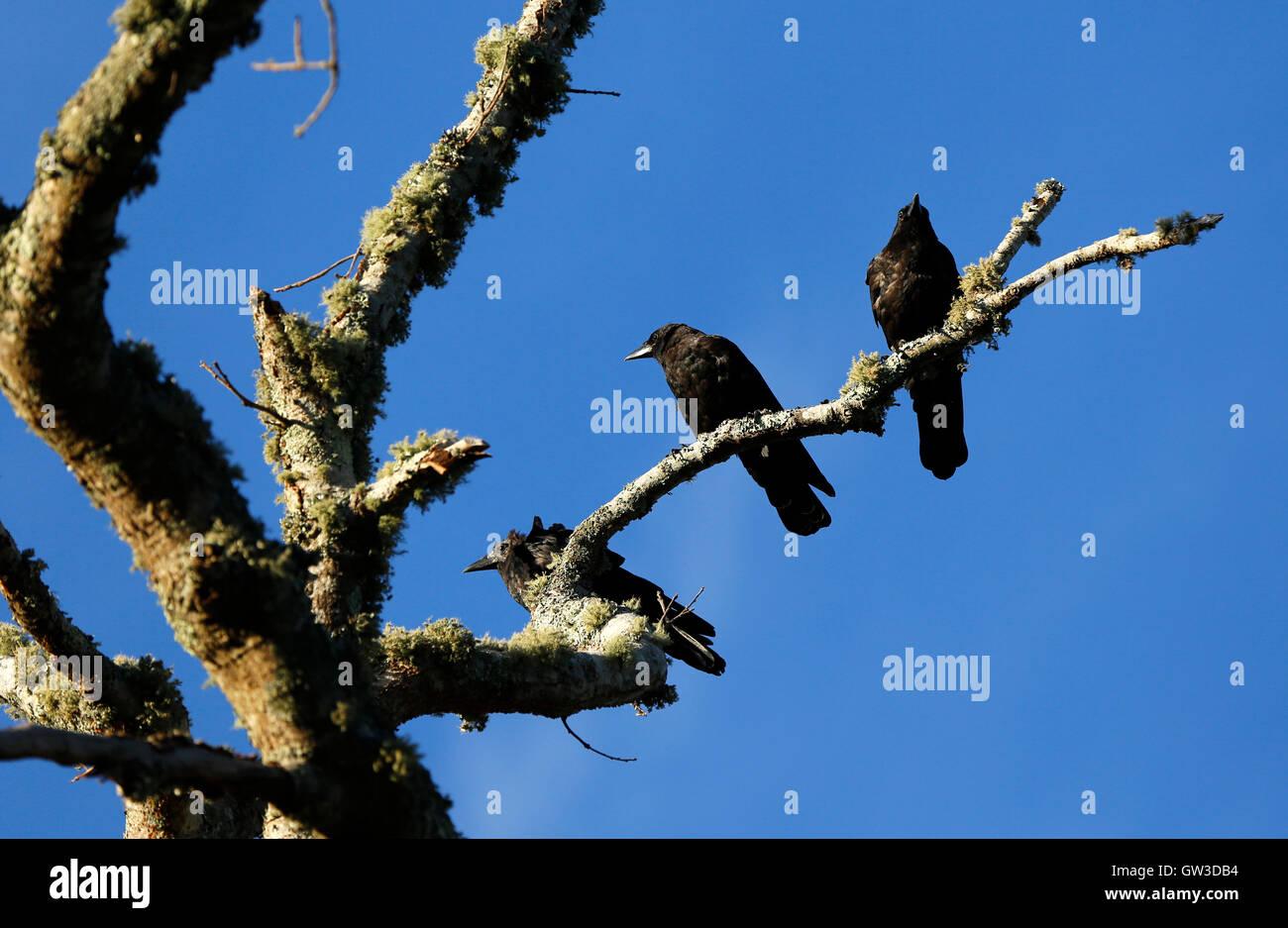 Krähen in einem Baum, Cape Cod, Massachusetts Stockbild