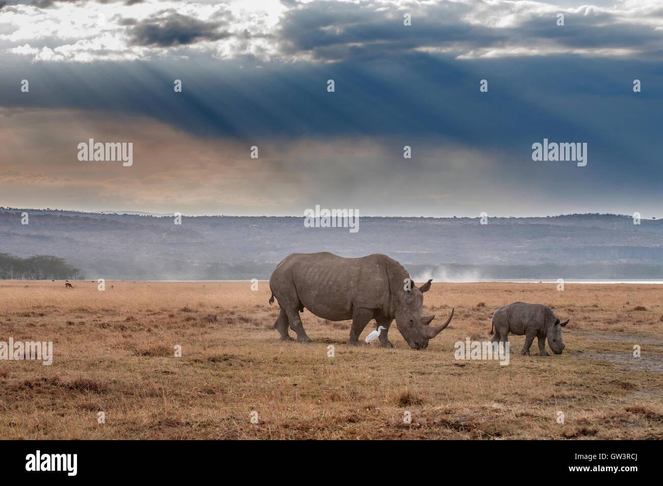 Nashorn-Mutter und Baby Stockbild