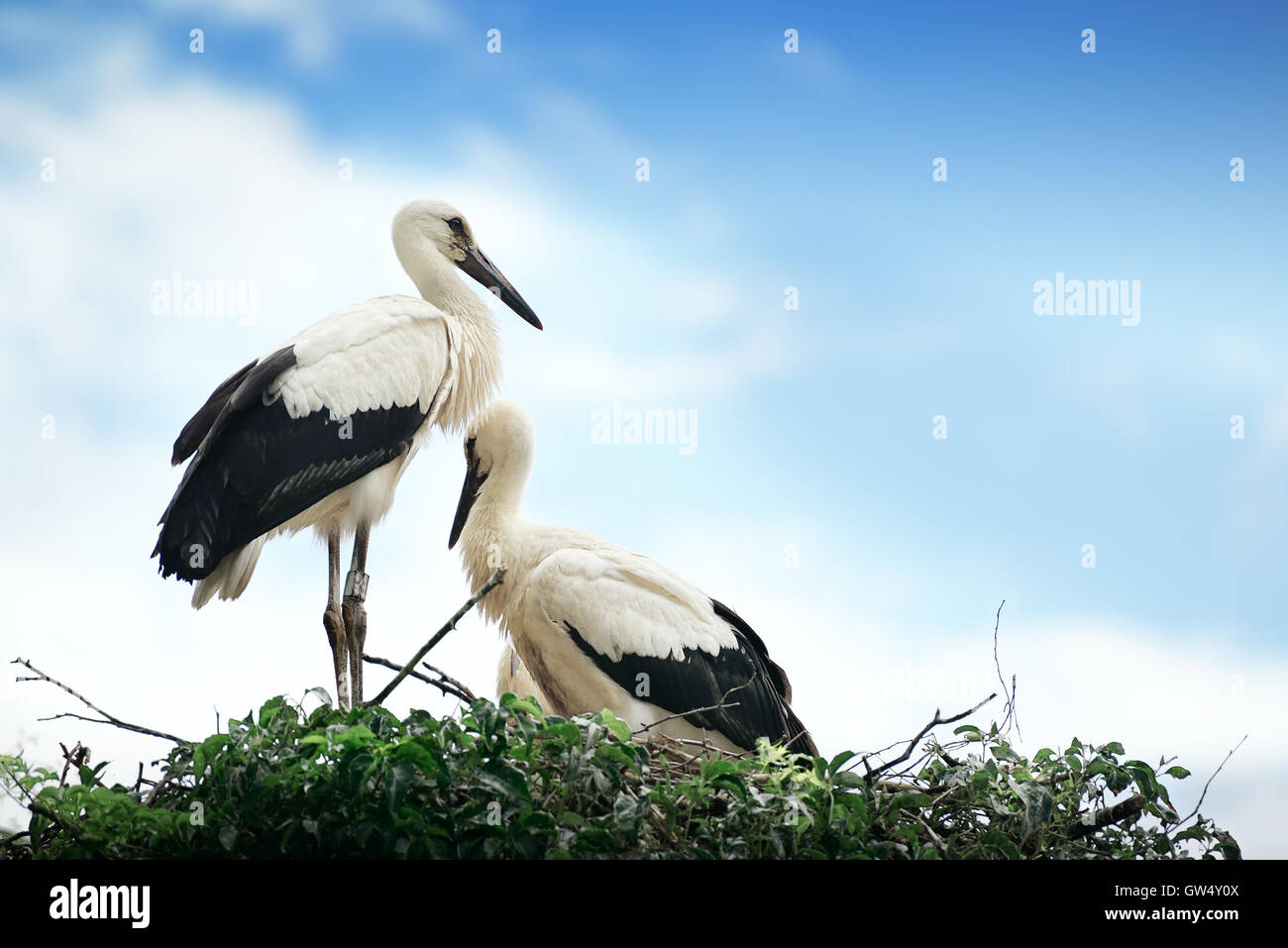 Störche im Nest auf dem Hintergrund der bewölkten Himmel Stockfoto