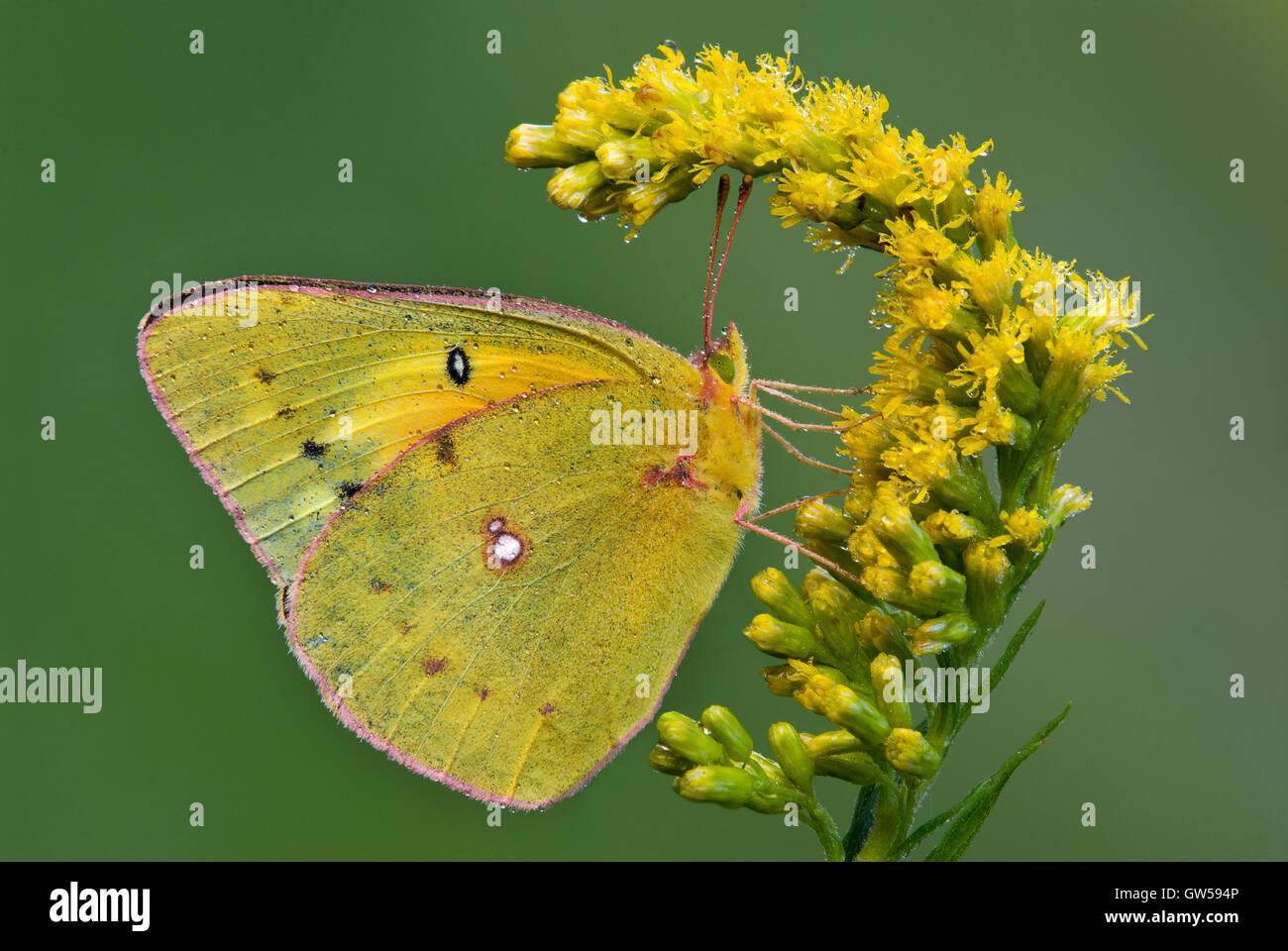 Getrübte Schwefel Schmetterling Colias Philodice Fütterung auf Goldrute (Solidago-Arten) Blumen, Michigan USA Stockfoto