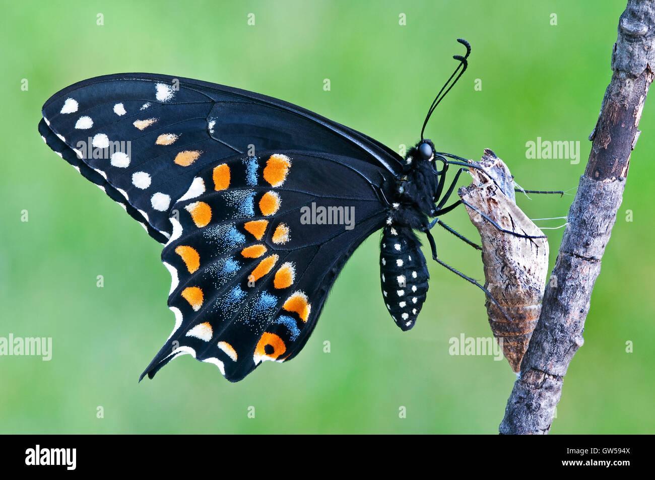 E. schwarz Schwalbenschwanz Schmetterling Papilio Polyxenes, Weiblich, entstand nur aus Puppe, im Osten der USA Stockbild