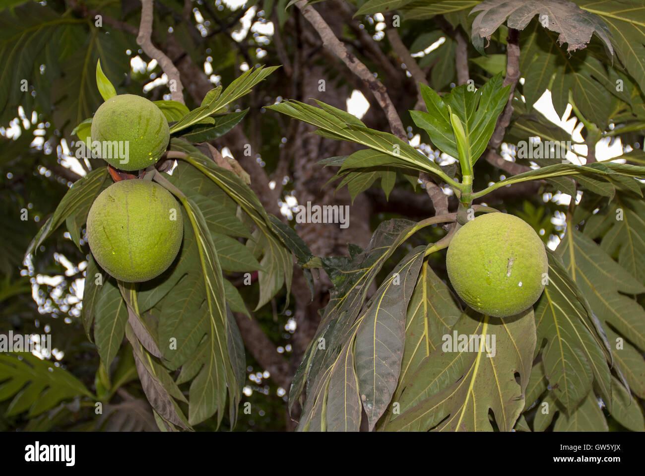 Brotfrucht, Artocarpus Altilis. São Tomé e Príncipe Stockbild