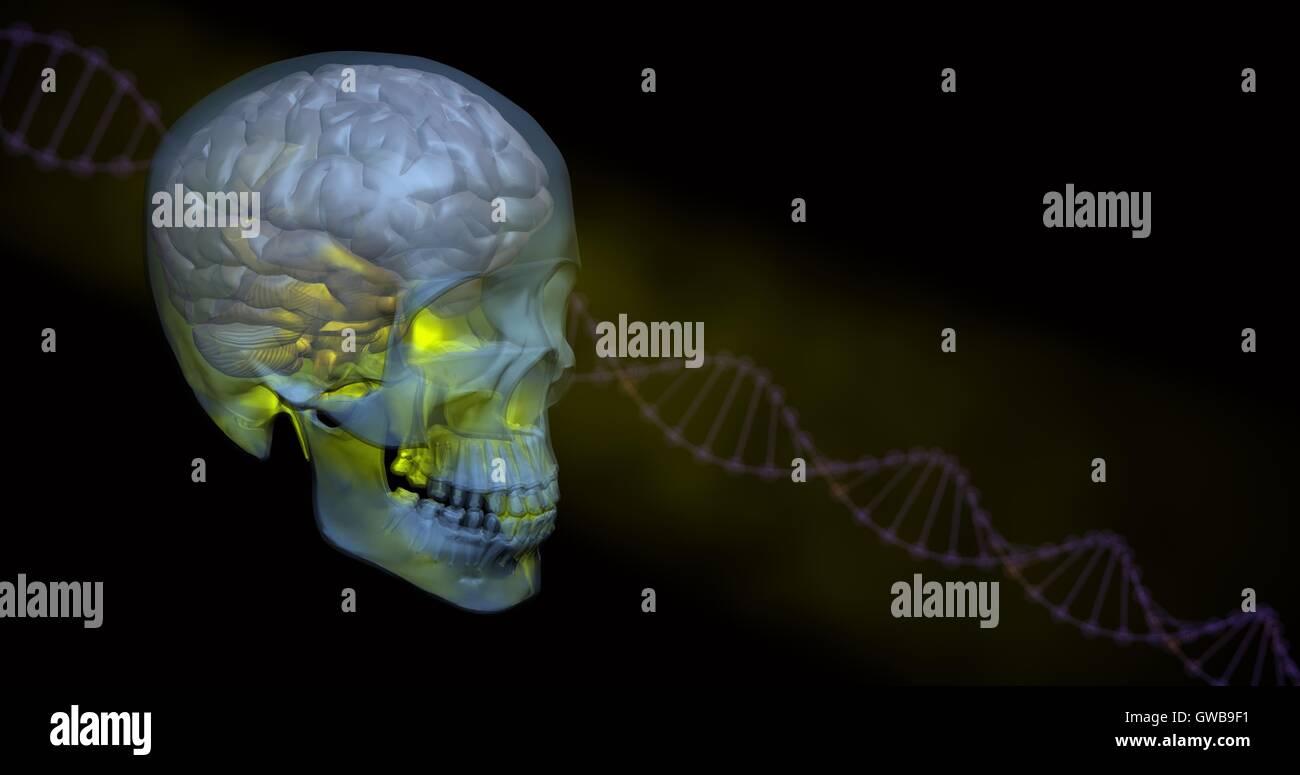 Leuchtende gelbe transparente Schädel und Gehirn mit DNA im Hintergrund Stockfoto