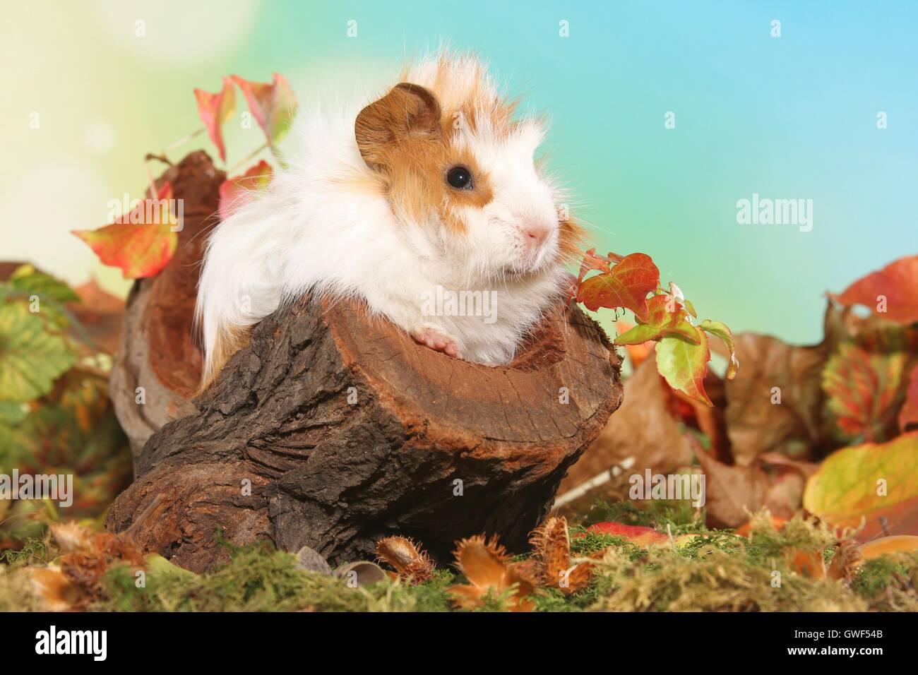 junge Angora-Meerschweinchen Stockbild