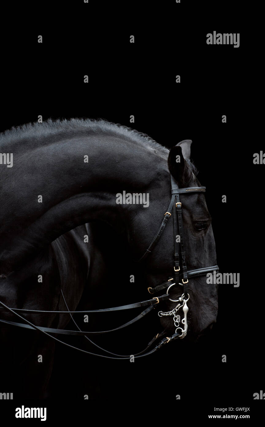 Siglavi Pakra Pantova ist ein Kladruber-Hengst zeigt seinen muskulösen gebogenen Profil verbeugte sich gnädig. Stockfoto