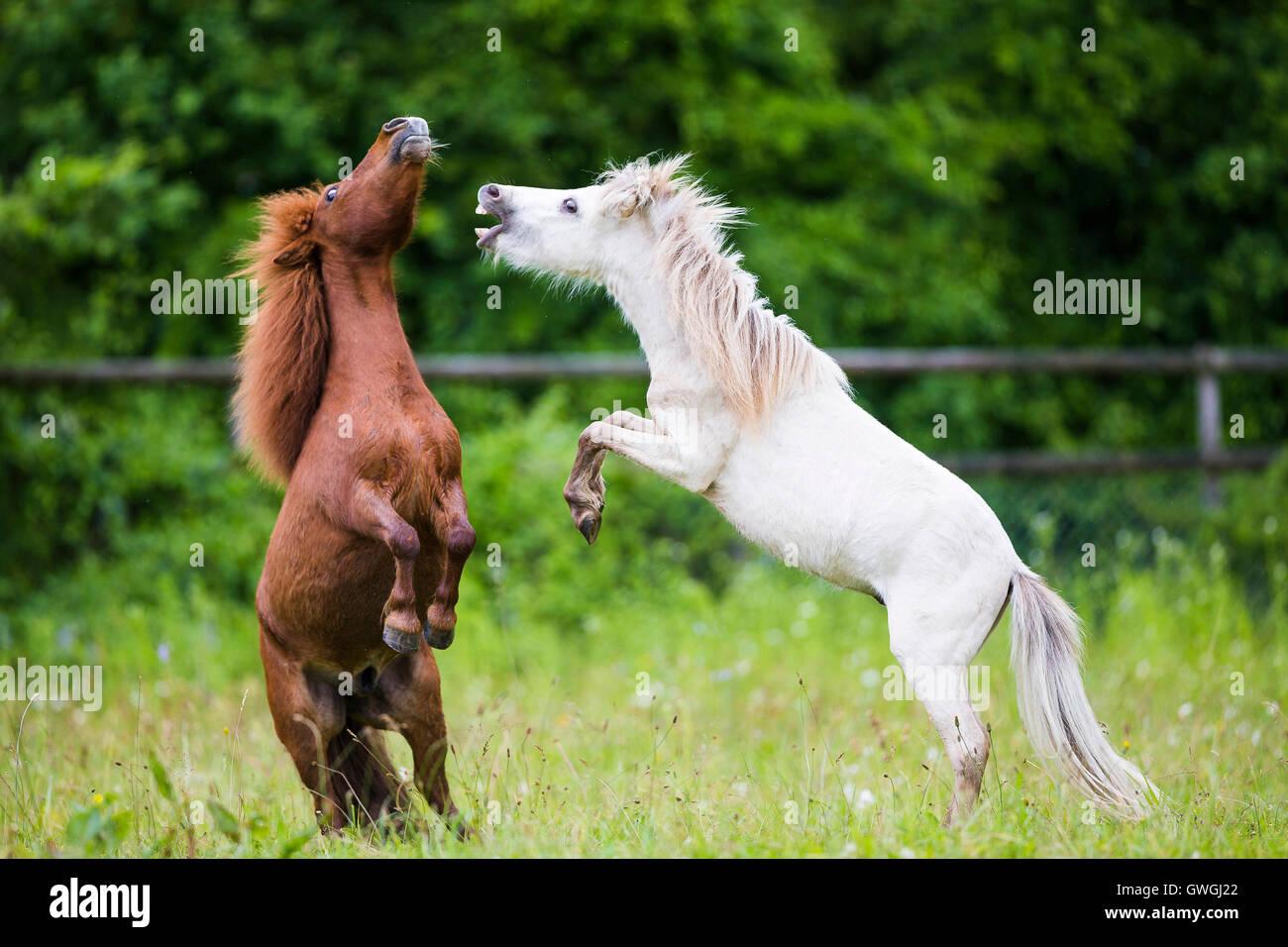 amerikanische minipferd und mini shetland pony zwei jungen hengst spielen k mpfen auf einer. Black Bedroom Furniture Sets. Home Design Ideas