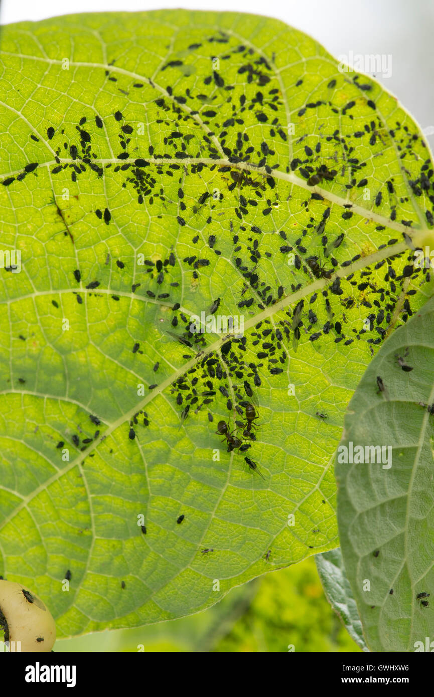Aphids Beans Stockfotos Aphids Beans Bilder Alamy