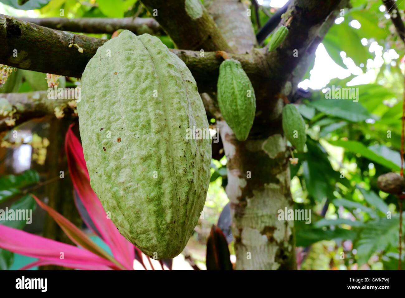 Kakao-Frucht wächst auf einem Kakaobaum in Costa Rica Stockbild