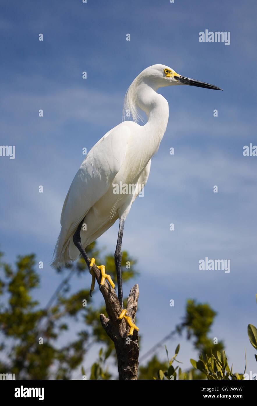 Ein Weißer Reiher mit weißen Federn, langen zotteligen Kopf Federn, gelb Lore und Füße sieht Stockbild