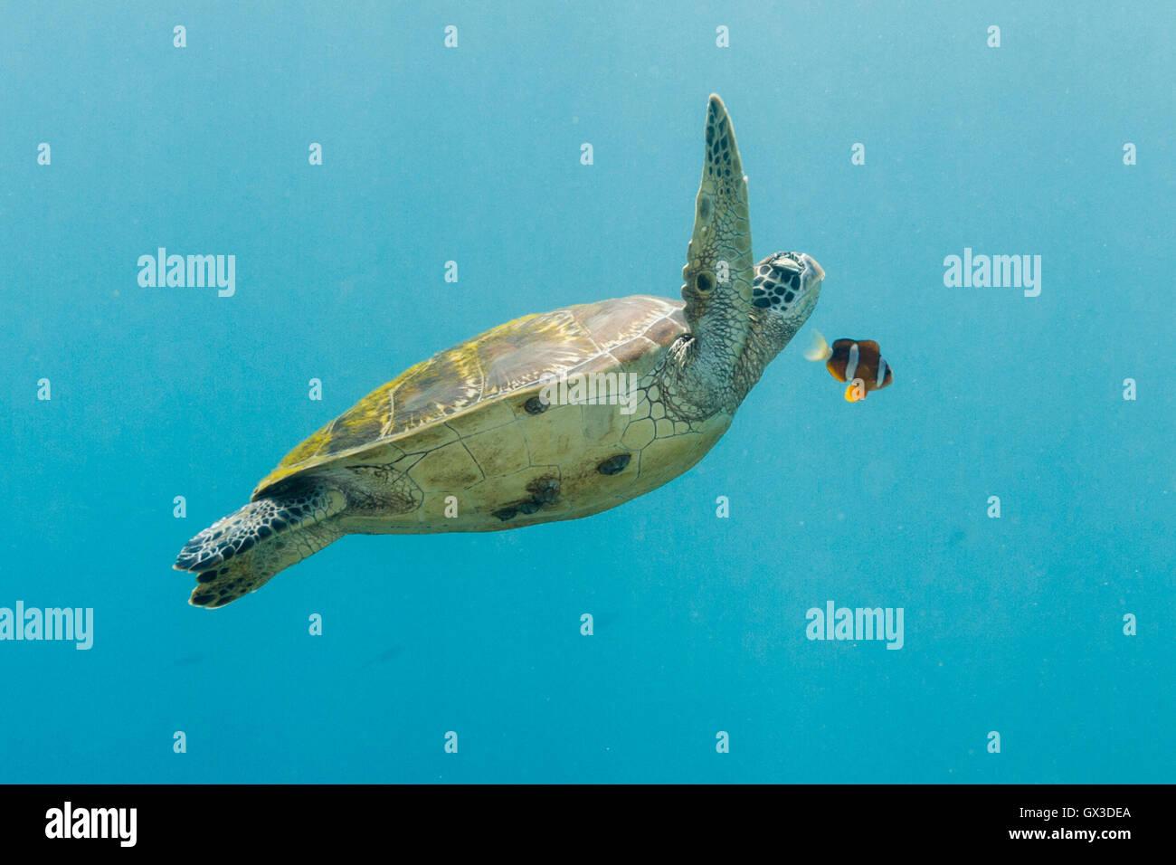 APO Island, Philippinen.  15. September 2016.  In einer Szene direkt aus findet Nemo diese Suppenschildkröte Stockbild