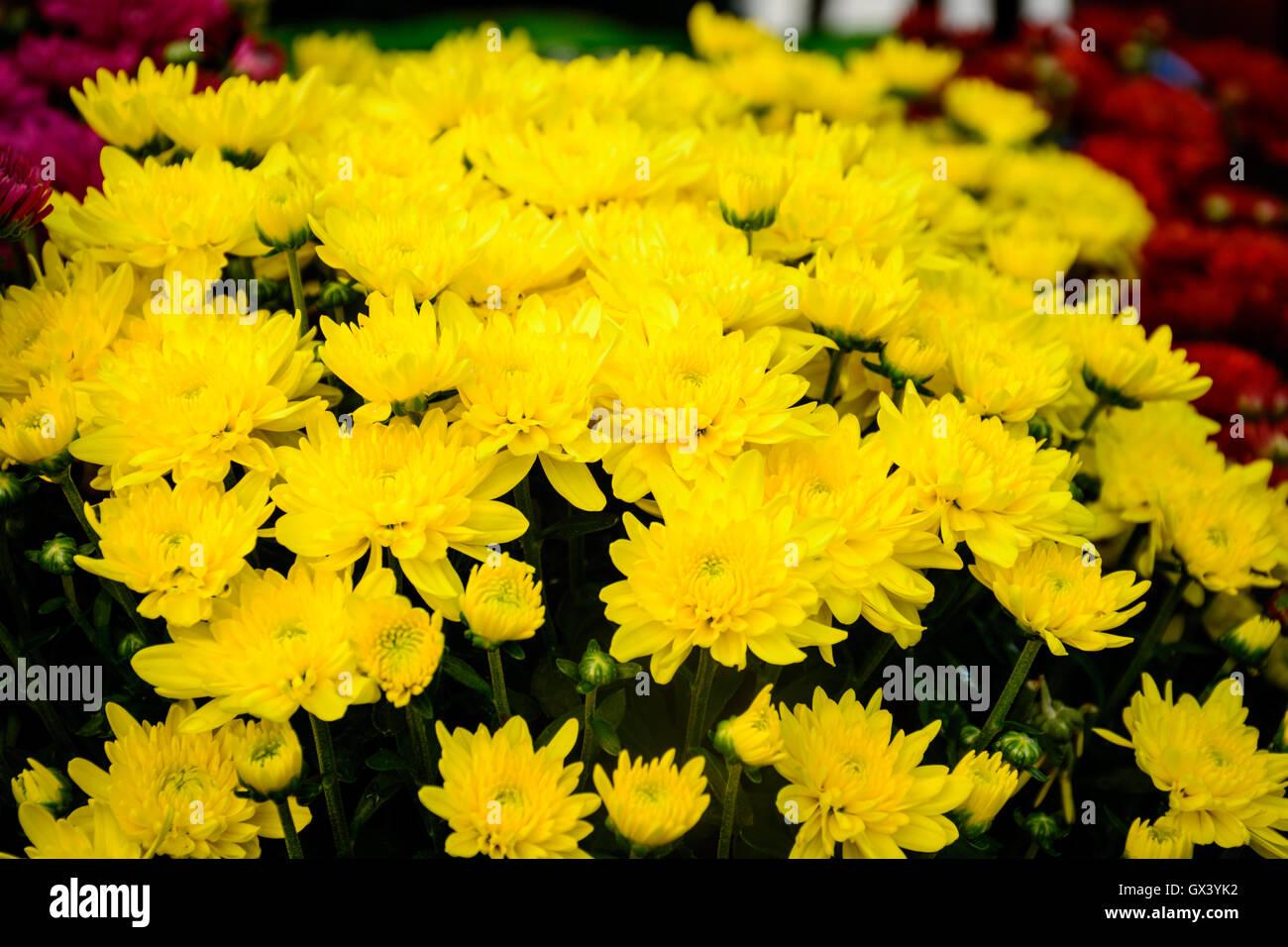 Gelbe Chrysanthemen Im Herbst Chrysantheme Ist Immer Das Symbol Des