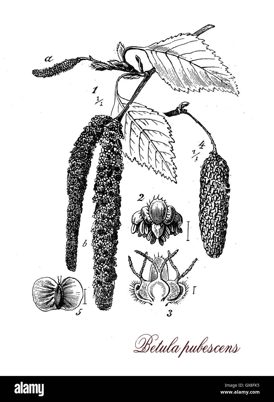 Betula Pubescens oder weiße Birke ist ein Laubbaum, Rinde und Holz ...