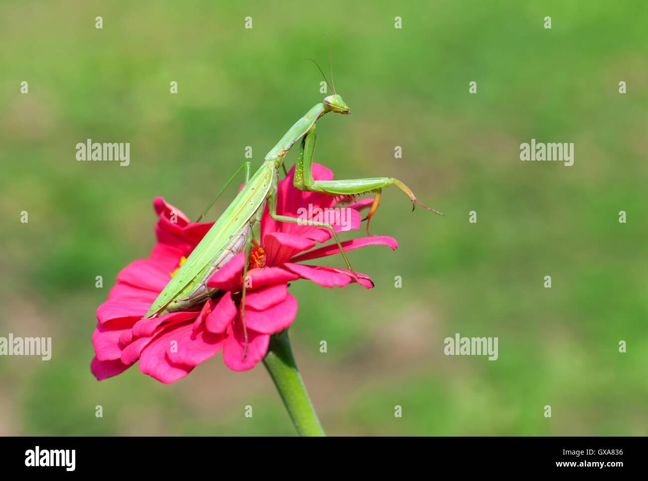 Praying Mantis sitzen auf eine lila Blume Stockbild