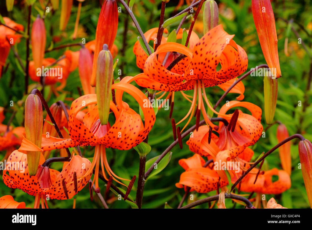 Lilium Bulbiferum orange Fire Tiger Lily Lilien Stockbild