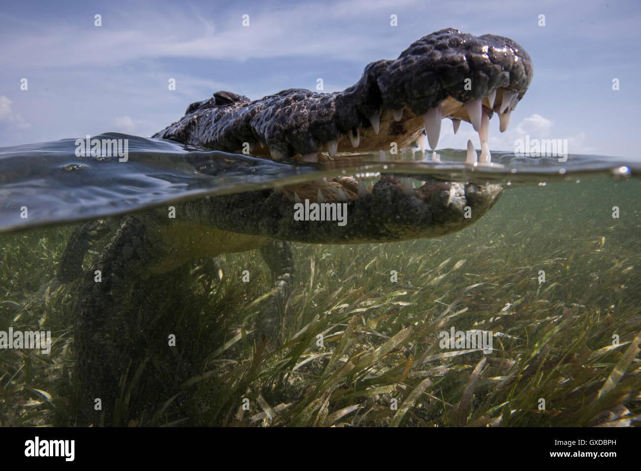 Nahaufnahme eines offenen Mund amerikanische Krokodil (Crocodylus Acutus) an Meeresoberfläche, Chinchorro Banks, Stockbild