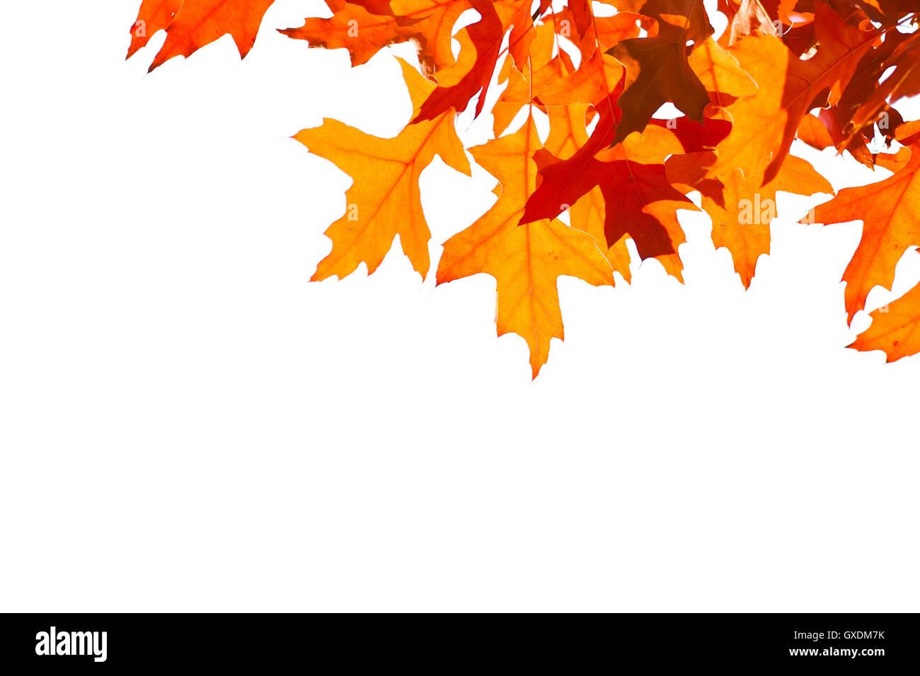 Dekorative orange Blätter Rahmen. Blätter sind auf weißen ...