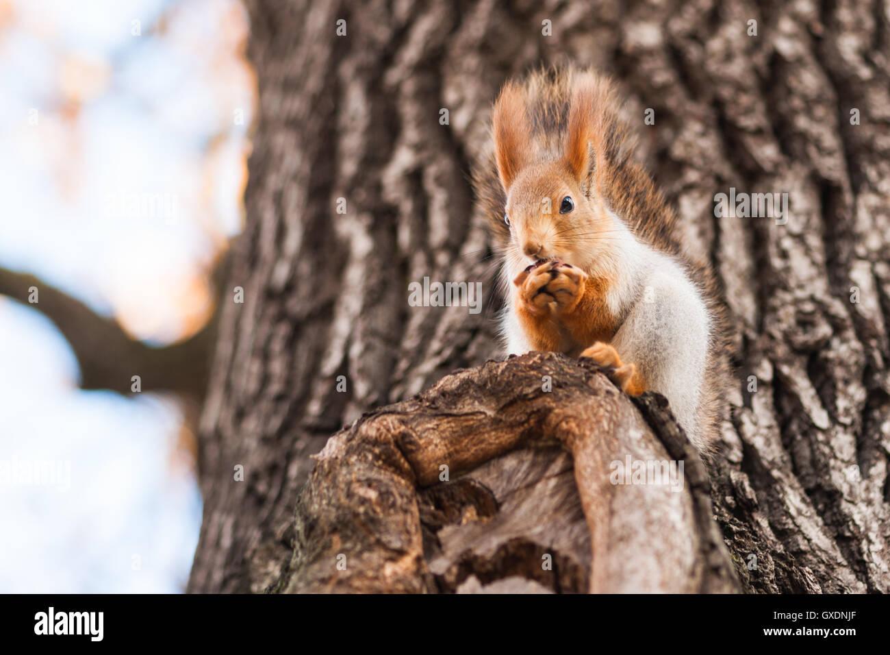 Eigenhausgemachte Eichhörnchen