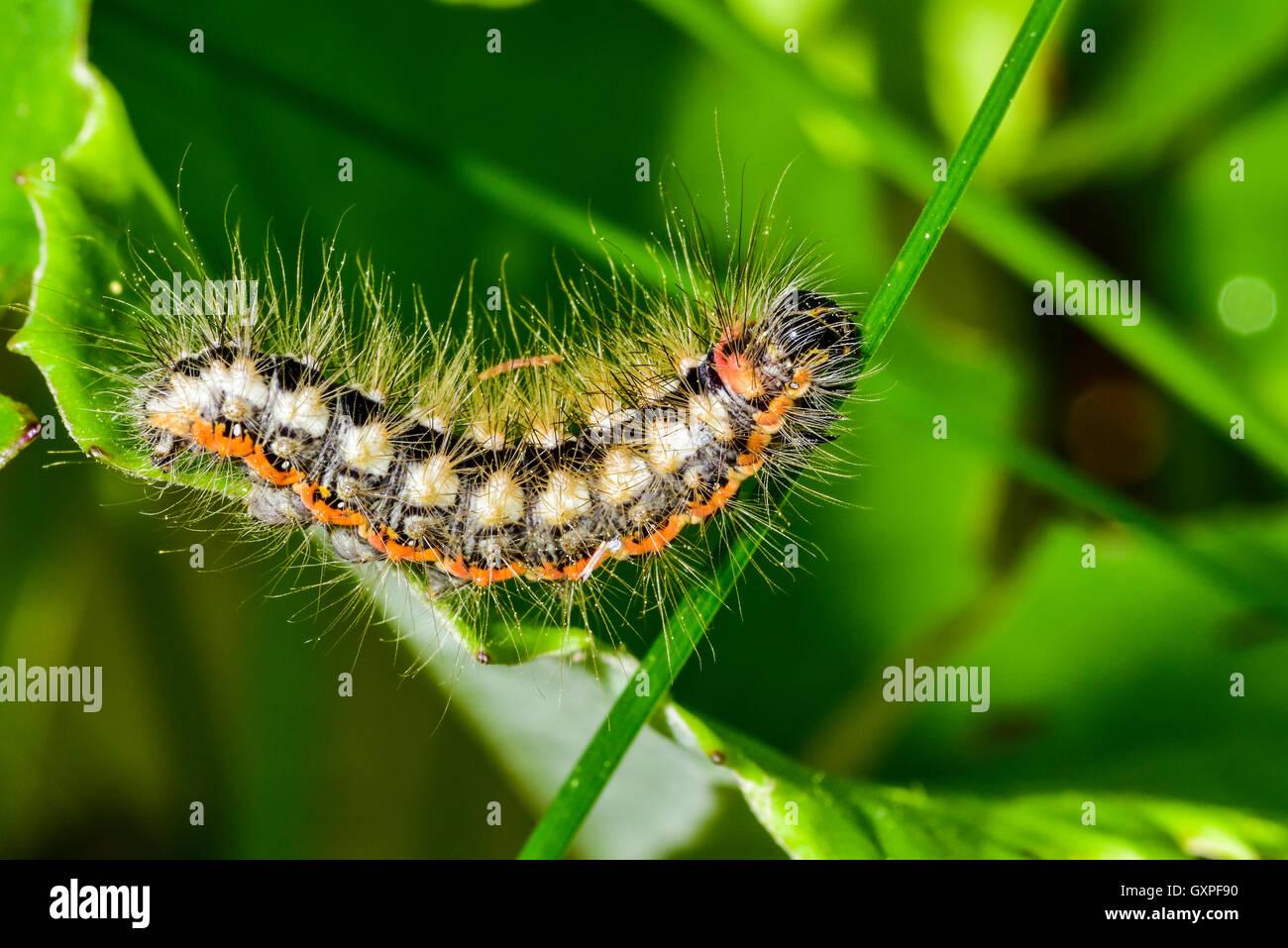 Schmetterling-Raupe Stockbild