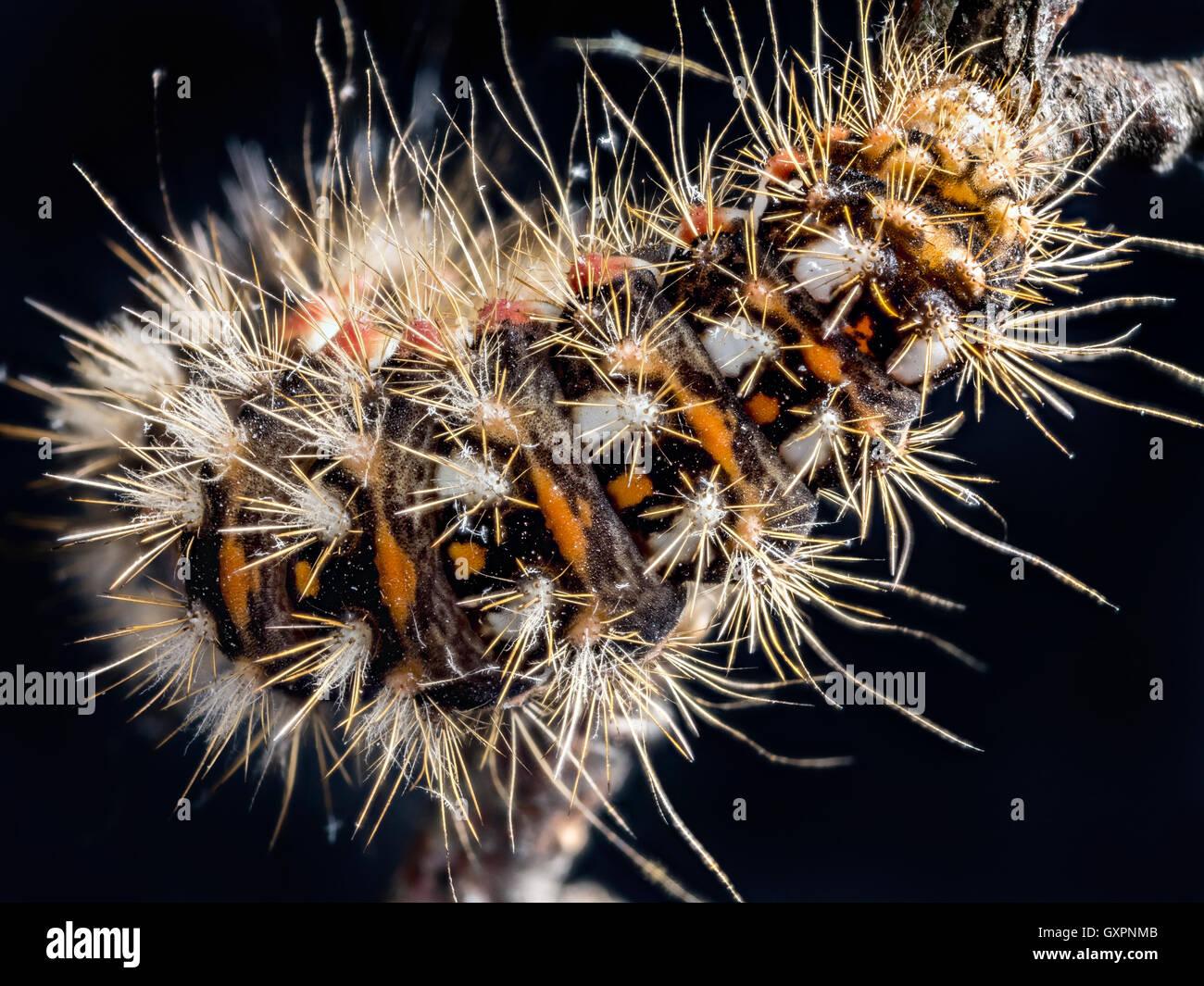 Gelb-Tail Motte (Euproctis Similis) Raupe kriecht unten den Zweig auf schwarzem Hintergrund Stockbild