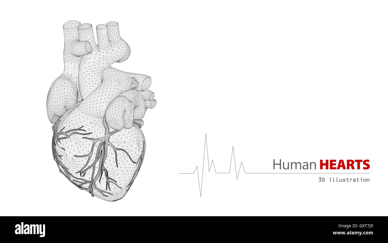 Anatomie des menschlichen Herzens auf weißem Hintergrund Stockfoto ...