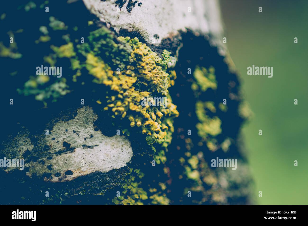 Moos auf Aspen Stockbild